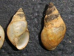 L. truncatula. Фото 12