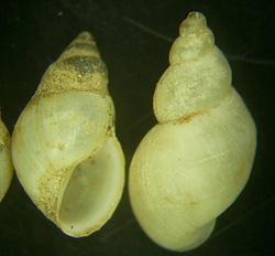 L. truncatula. Фото 14