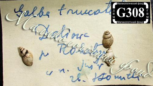 Lymnaea truncatula. Фотография 15