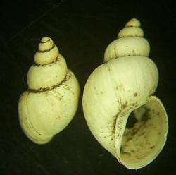 L. truncatula. Фото 18