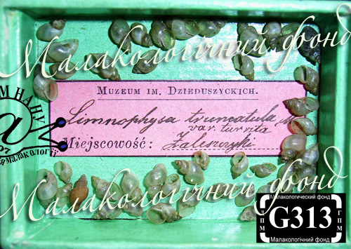 Lymnaea truncatula. Фотография 19