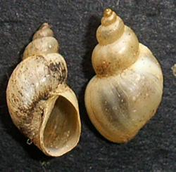 L. truncatula. Фото 22