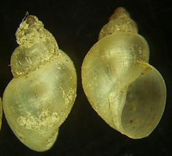L. truncatula. Фото 24