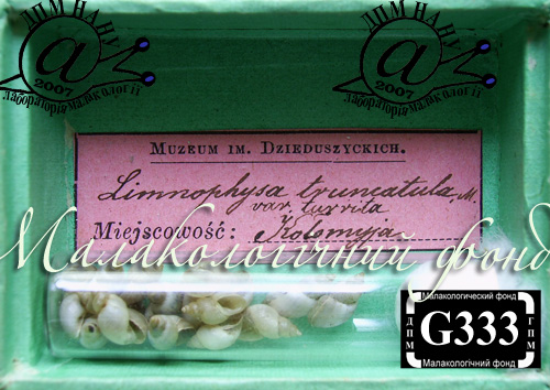 Lymnaea truncatula. Фотография 25