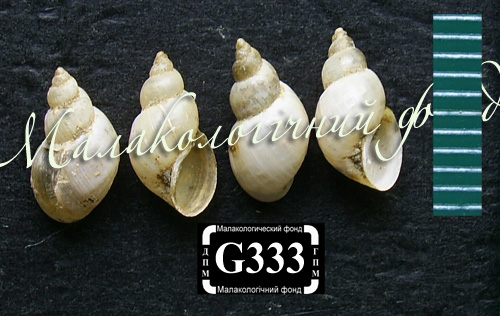 Lymnaea truncatula. Фотография 27