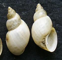 L. truncatula. Фото 28