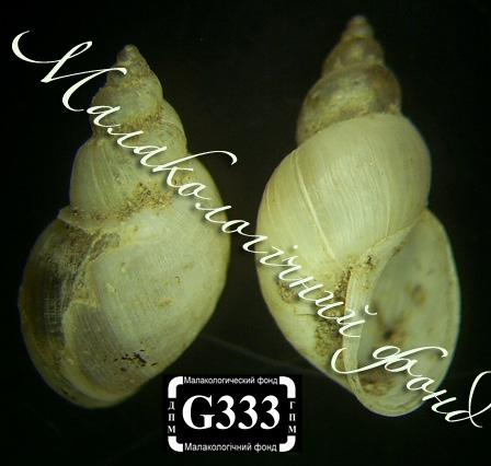 Lymnaea truncatula. Фотография 29