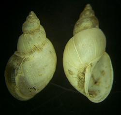 L. truncatula. Фото 30