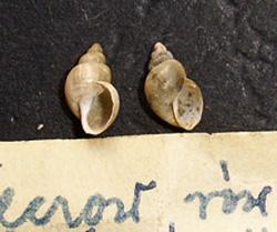 L. truncatula. Фото 32