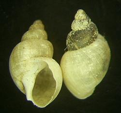 L. truncatula. Фото 34