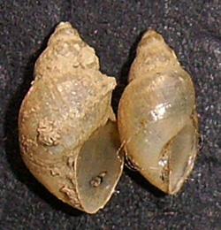 L. truncatula. Фото 36