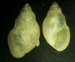 L. truncatula. Фото 38
