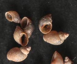 Lymnaea truncatula (O.F.Muller, 1774)