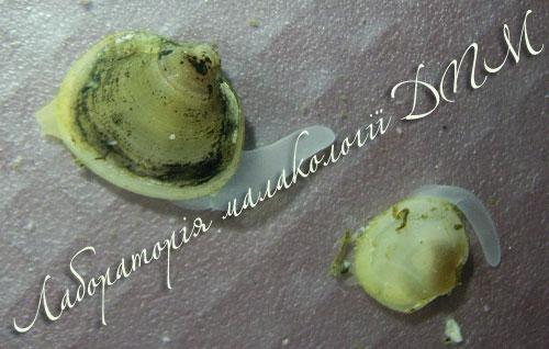 Musculium lacustre. Фотография 23