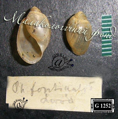 Physa fontinalis. Фотография 7