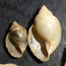 P. acuta. Фотография 6