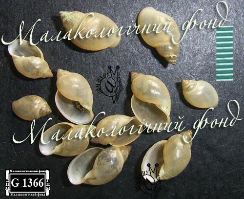 Physella acuta. Фотография 7