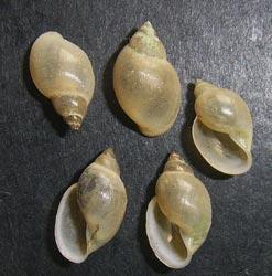 Physella acuta (Draparnaud, 1805)