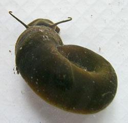 P. corneus. Фотография 46