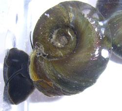 P. corneus. Фотография 48