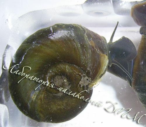 Planorbarius corneus. Фотография 49