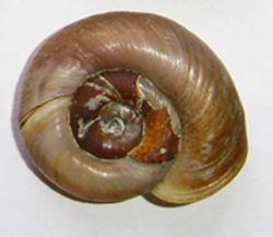 Planorbarius corneus (Linnaeus, 1758)