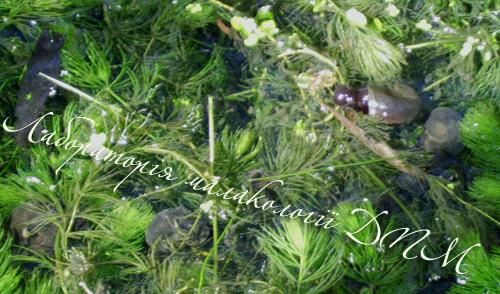 Planorbarius corneus. Фотография 35