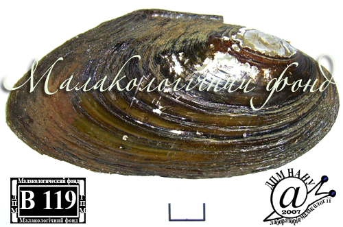 Pseudanodonta complanata. Фотография 23