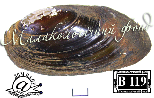 Pseudanodonta complanata. Фотография 25