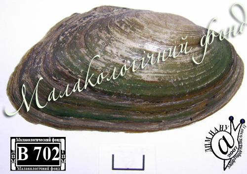 Pseudanodonta complanata. Фотография 41