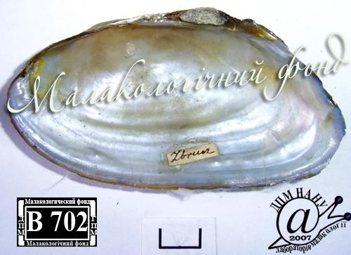Pseudanodonta complanata. Фотография 43