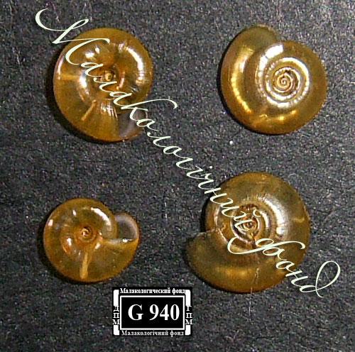 Segmentina nitida. Фотография 5