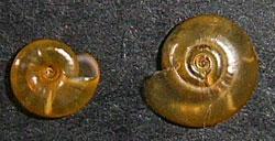 Segmentina nitida (O.F.Muller, 1774)