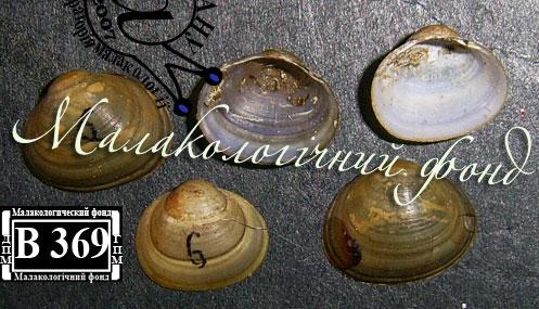 Sphaerium corneum. Фотография 7