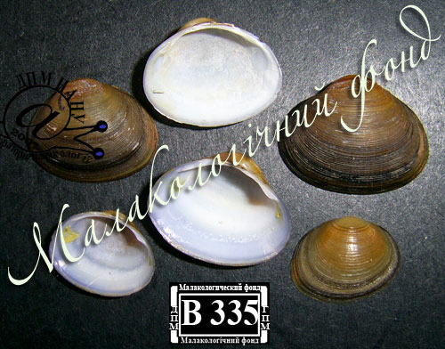 Sphaerium rivicola. Фотография 5