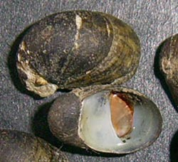 T. fluviatilis. Фотография 24