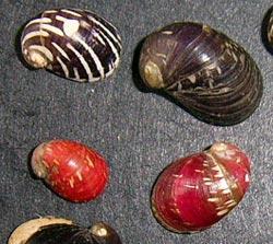 Моллюск февраля среди пресноводных моллюсков - Theodoxus fluviatilis (2015 г.)