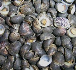 Моллюск июля среди пресноводных моллюсков - Theodoxus fluviatilis (2013 р.)