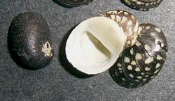 T. fluviatilis. Фотография 36