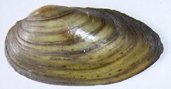 Моллюск июня среди пресноводных моллюсков - Unio pictorum (2018 г.)