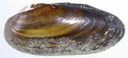 Моллюск января среди пресноводных моллюсков - Unio pictorum (2018 г.)