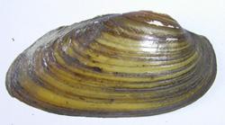 U. pictorum. Фото 65