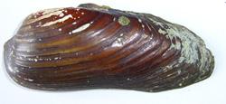 Моллюск апреля среди пресноводных моллюсков - Unio pictorum (2018 г.)