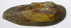 U. pictorum. Фото 40