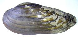 Моллюск января среди пресноводных моллюсков - Unio pictorum (2016 г.)