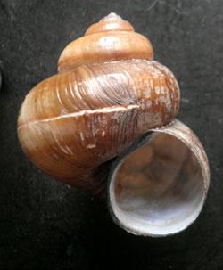 V. contectus. Фотография 8