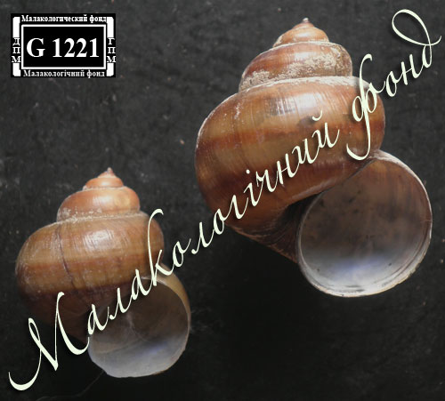 Viviparus contectus. Фотография 9