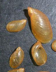 O. sarsii. Фотография 10