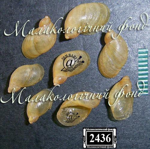 Oxyloma sarsii. Фотография 15