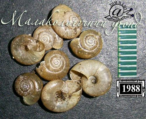 Aegopinella minor. Фотография 5